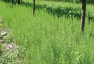 FOT. 10. Proliferacja skrzypu polnego po glifosacie