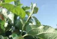 FOT. 2. Mszyca jabłoniowa