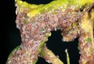 FOT. 3a. Fragment kolonii mszycy jabłoniowo-babkowej
