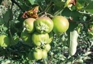 FOT. 4. Jabłka zdeformowane przez mszycę jabłoniowo-babkową
