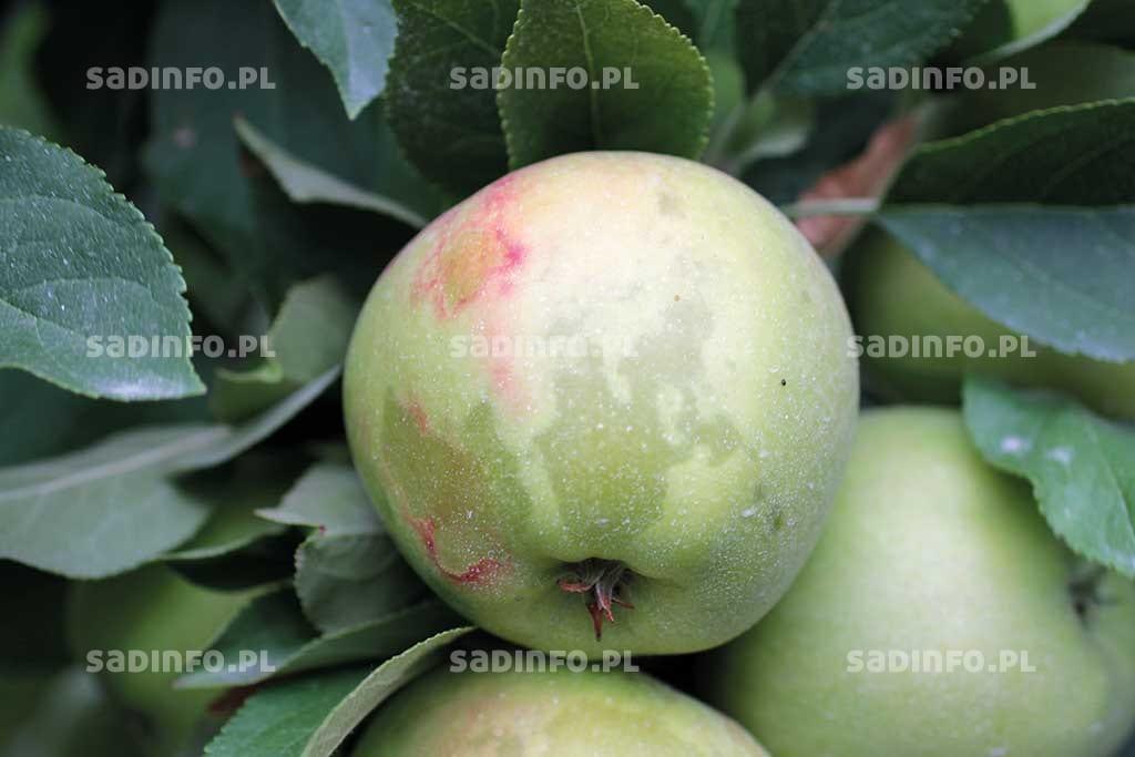 Fot. 2. Objawy szklistości mogą być czasami widoczne przezskórkę owocu