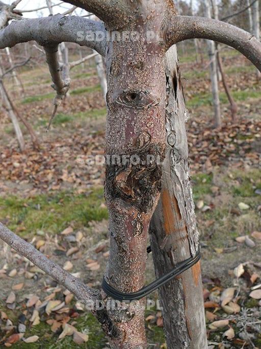 FOT. 1a. Objawy raka drzew owocowych na przewodniku drzewa odmiany 'Szampion'