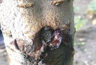 FOT. 2. Objawy porażenia rakiem bakteryjnym  na pniu czereśni