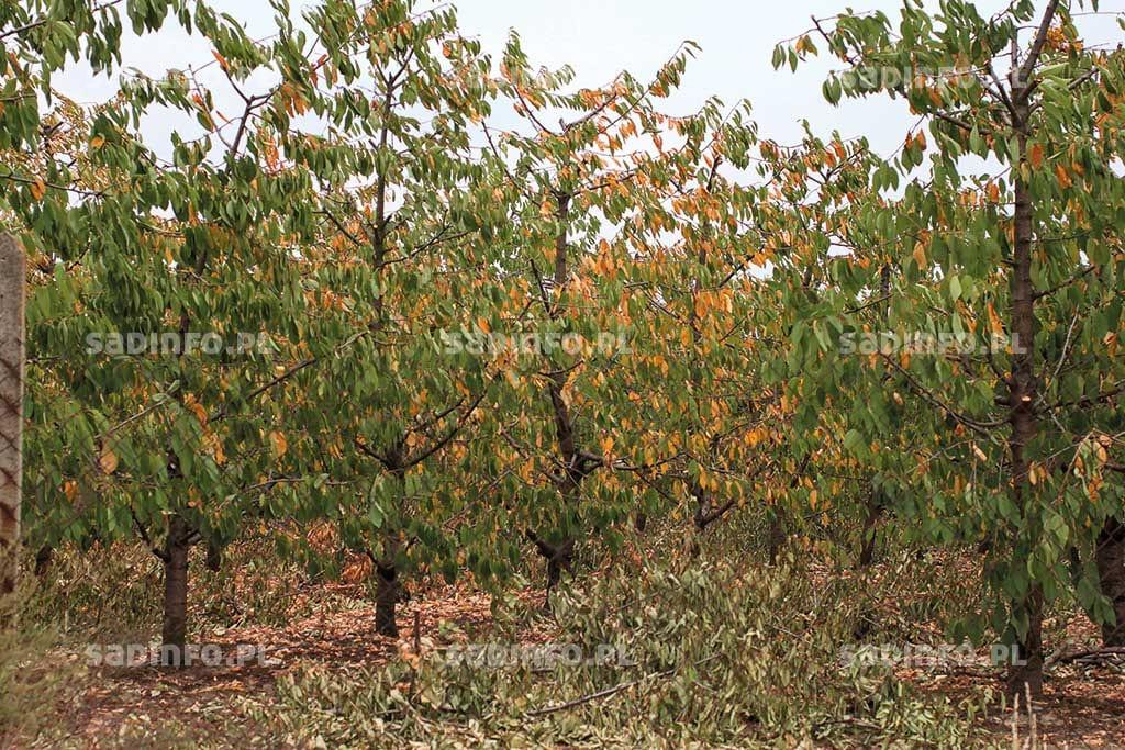 Fot. 2. Niedobory magnezu i potasu przyczyniają się do przedwczesnego opadania liści u czereśni