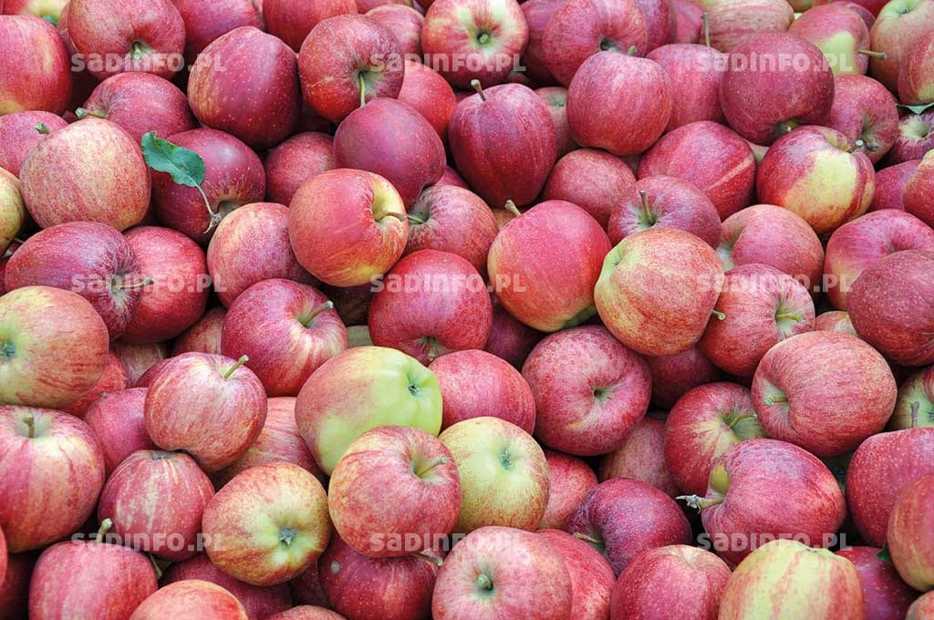 Jabłka dobrze odżywione wapniem mają z reguły większą jędrność w czasie przechowywania i jednocześnie wydzielają mniej etylenu – wolniej dojrzewają i żółkną