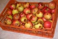 Fot. 1. Gorzka zgnilizna jabłek - pierwsze plamki gnilne wokół przetchlinek (tzw. oczkowanie jabłek) pojawiają się, gdy jabłka zaczynają dojrzewać w chłodni