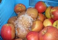 Fot. 3. Szara pleśń - im dłużej jabłka są przechowywane tym gniazda pleśni obejmują więcej owoców