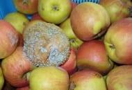 Fot. 4. Mokra zgnilizna jabłek - grzyb Penicillium expansum bardzo łatwo zakaża świeże, wilgotne rany i powoduje gnicie jabłek
