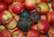Fot. 6. Brunatna zgnilizna jabłek – gnijące owoce stają się twarde, czarne, a następnie wysychają przybierając postać mumii