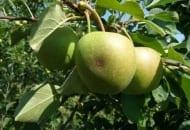 Fot. 1. Parch na owocu 'Szampiona'