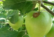 Fot. 2. Parch na owocu 'Ligola'