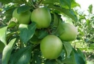 Fot. 5. Czyste owoce 'Ligola'