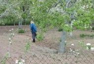 Fot. 1. W ogrodach przydomowych ochrona drzew sprowadza się zazwyczaj do bielenia pni