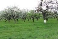 Fot. 2. Większość kilkudziesięcioletnich sadów to nieużytki sadownicze