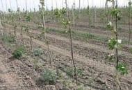 Fot. 7. Sad jabłoniowy w jednym z ukraińskich przedsiębiorstw