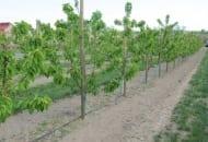 Fot. 8. Cały sad w Szczutkach jest nawadniany