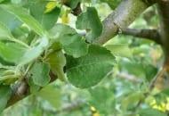 Fot. 4. Objawy żerowania przędziorków na liściach jabłoni tuż po kwitnieniu