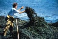 Fot. 1. Pozyskiwanie alg z gatunku Ascophyllum nodosum