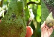 Fot. Objawy żerowania miodówek na owocach