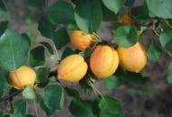 Fot. 1. Owoce odmiany 'Czewniewyj'