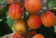 Fot. 21. Owoce odmiany 'Nasienna z Mazanowa'