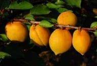 Fot. 9. Owoce odmiany 'Manitoba'