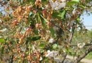 Fot. 11. Drzewo wiśni po przymrozkach w okolicach Bydgoszczy