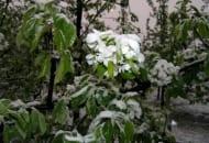 Fot. 3. Sad pod śniegiem – okolice Błędowa 3.05.2011 r.