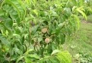 """Fot. 3b. U brzoskwini należy skracać pędy dłuższe niż 30 cm: tutaj gałąź po skróceniu pędów rosnących w środkowej części, nie skracamy pędów """"kończących"""" gałąź"""