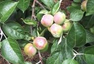 FOT. 1. Gdy zawiązki owocowe na jabłoniach osiągną wielkość orzecha włoskiego, praktycznie ustają podziały komórkowe