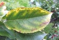 FOT. 2b. Po przemarznięciu korzeni, objawy niedoboru składników pokarmowych w sezonie 2012 były widoczne na liściach aż do jesieni