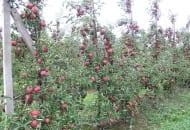 FOT. 2. Trzyletnie drzewa odmiany 'Red Jonaprince' o właściwym doświetleniu korony na 2 tygodnie przed zbiorem