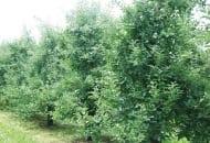 FOT. 3. Intensywny wzrost wegetatywny drzew odmiany 'Jonagold', na których przemarzły pąki kwiatowe