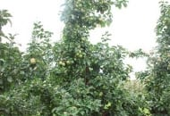 FOT. 4. Drzewo odmiany 'Lobo' po cięciu letnim (dotarcie światła dodatkowo ułatwia przewężenie – wycięcie pędów powyżej drugiego piętra w koronie)