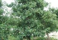 FOT. 5b. Kilkunastoletnie drzewo jabłoni po cięciu letnim