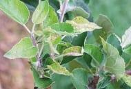 FOT. 6. Młode pędy wyrastające po zbyt wcześnie wykonanym cięciu letnim (wzrost wtórny)