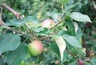 FOT. 9. Niepotrzebnie przycięty pęd boczny obok owocu