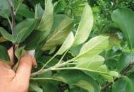 FOT. 1. Objawy żerowania pordzewiacza jabłoniowego na liściach jabłoni