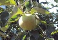 FOT. 2. Ordzawienie skórki jabłka na skutek żerowania pordzewiacza jabłoniowego