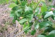 FOT. 4. Objawy żerowania podskórnika gruszowego na liściach gruszy