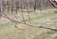 FOT. 2a. Poziome położenie gałęzi i nieliczne, wyrosłe na niej pędy jednoroczne gwarantują dobre plonowanie