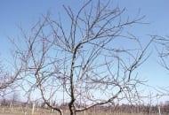 FOT. 4a Korona brzoskwini ciętej w poprzednim roku sposobem uproszczonym