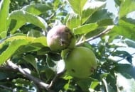 Fot.1. Porażony parchem jabłoni zawiązek owocowy