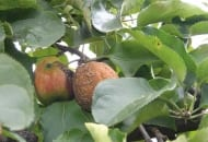 Fot.4. Brunatna zgnilizna jabłek na drzewach...