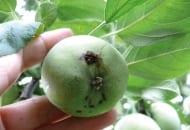 Fot.1b. Owocówka jabłkóweczka - uszkodzone przez gąsienice zawiązki jabłek