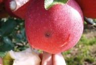 Fot.1d. Owocówka jabłkóweczka - uszkodzony przez gąsienice owoc