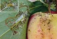 Fot.1. Młoda gąsienica zwójkówki żerująca na jabłku odmiany 'Gala' w okresie dojrzewania