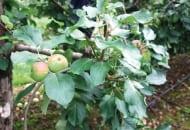 FOT. 10. Przykład niewłaściwego cięcia letniego: zbyt silnie przycięto pędy nad owocami, a te znajdujące się bliżej zewnętrznej części korony skrócono zamiast wyciąć