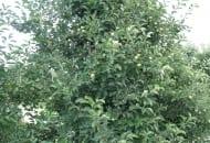 FOT. 1a. Jabłoń 'Idared' przed cięciem letnim