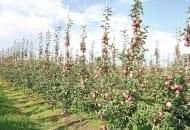 FOT. 2. Młode drzewka odmiany 'Empire' w sadzie intensywnym nie wymagają cięcia letniego, ponieważ wszystkie owoce są prawidłowo doświetlone